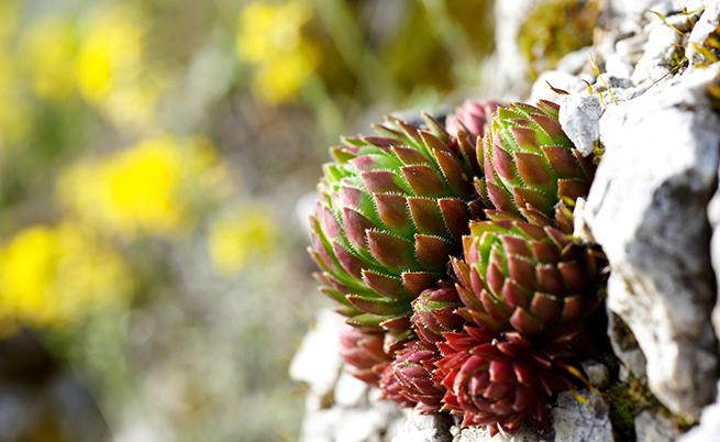 Dall'agave un dolcificante per il diabete