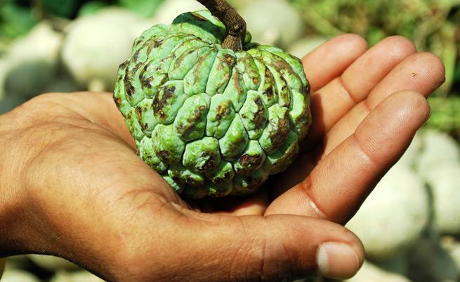 La Graviola: frutto benefico dalle mille proprietà