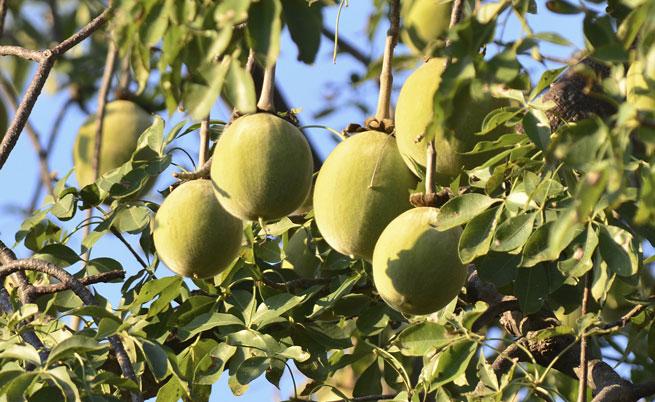 Il Baobab: dall'Africa il frutto amico dell'intestino
