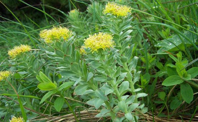 Rhodiola: dalla Siberia arriva l'erba tonificante