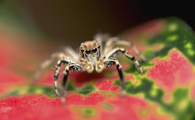 Un ragno tropicale che vive sottopelle: ecco l'inquietante scoperta di un australiano