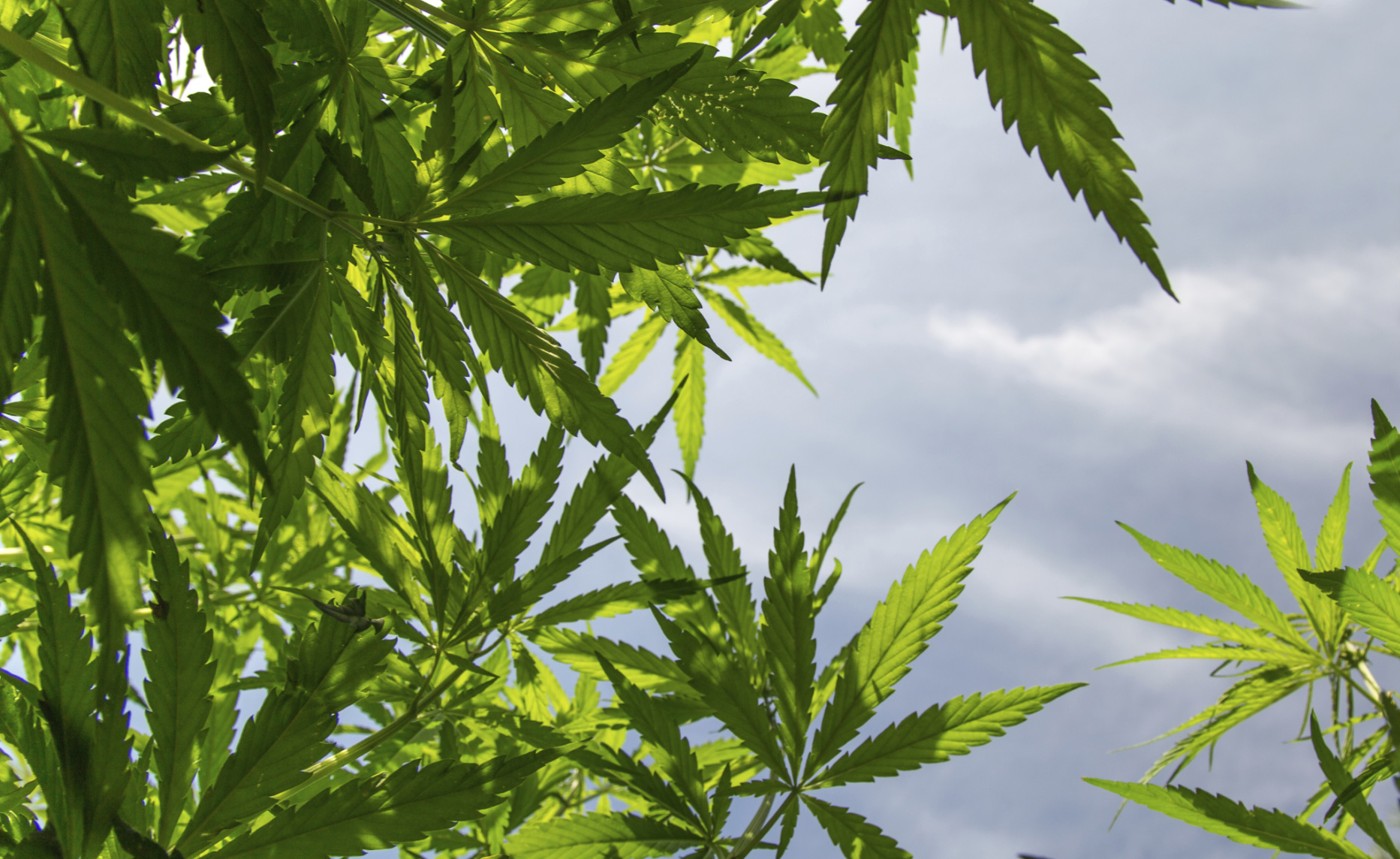Marijuana: una possibile cura per la depressione