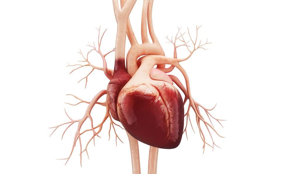 Cellule della pelle trasformate in cellule cardiache