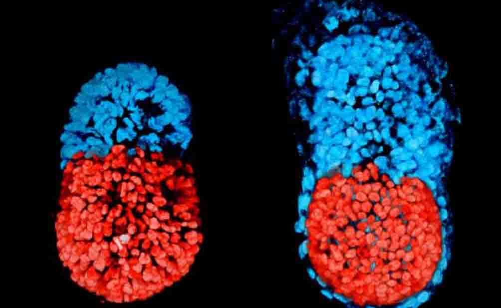 Creato per la prima volta un embrione artificiale