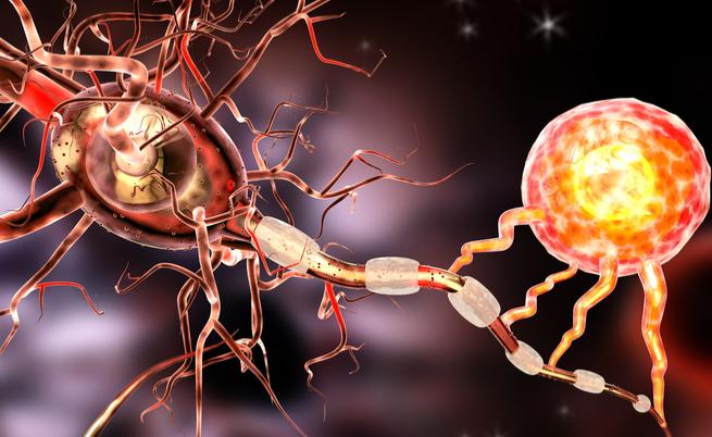 E' un batterio che arriva dall'intestino a proteggerci dalla sclerosi multipla