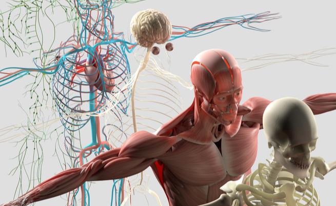 Interstizio: scoperto un nuovo (e fondamentale) organo del corpo umano