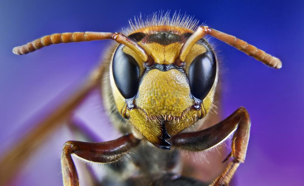 Attenzione al veleno degli imenotteri: ecco cosa fare in caso di allergia!