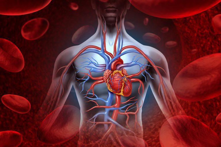 Cosa c'entra la massa muscolare con la salute del cuore?